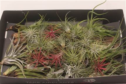 Grossiste Tillandsia Arrangement Mix 60  : Tillandsia Arrangement Mix 60  avec tarifs grossiste