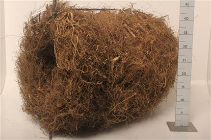 Grossiste Wr Couronne Root Rough 40 Cm Naturel  : Wr Couronne Root Rough 40 Cm Naturel  avec tarifs grossiste