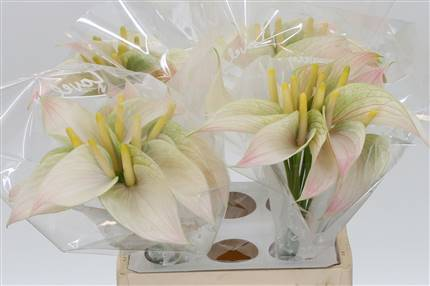 Grossiste Anthurium Aqua Trico Love  : Anthurium Aqua Trico Love  avec tarifs grossiste
