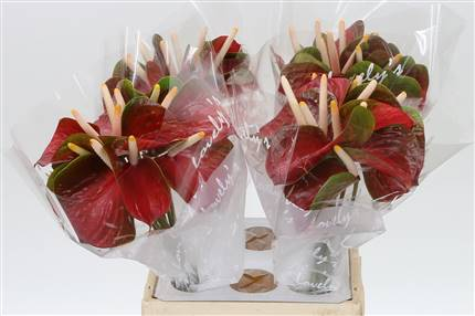 Grossiste Anthurium Aqua A Exiting Love  : Anthurium Aqua A Exiting Love  avec tarifs grossiste