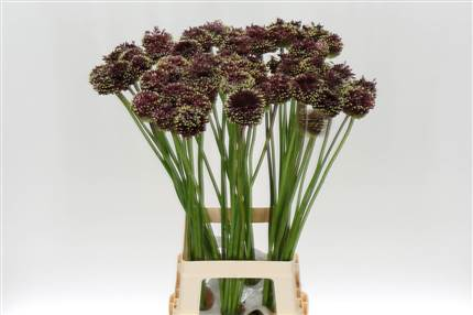 Grossiste Allium Rouge Mohican  : Allium Rouge Mohican  avec tarifs grossiste