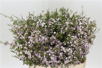 Grossiste Waxflower Un Danc Queen  : Waxflower Un Danc Queen  avec tarifs grossiste