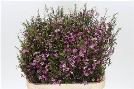 Grossiste Waxflower Lilla  : Waxflower Lilla  avec tarifs grossiste