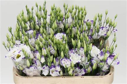 Grossiste Lisianthus G Arena Blue Picotee  : Lisianthus G Arena Blue Picotee  avec tarifs grossiste