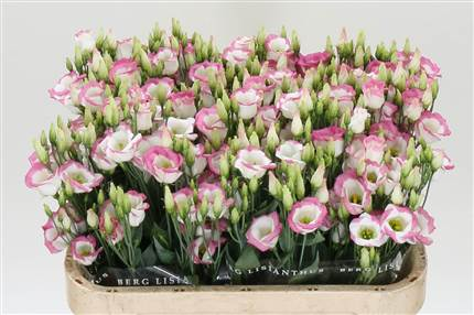 Grossiste Lisianthus E Picco Hot Lips  : Lisianthus E Picco Hot Lips  avec tarifs grossiste