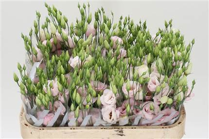 Grossiste Lisianthus G Arena Light Rose  : Lisianthus G Arena Light Rose  avec tarifs grossiste