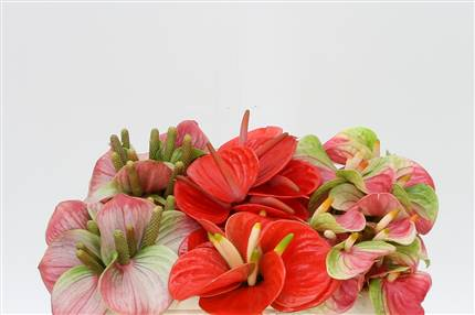 Grossiste Anthurium Aqua A Lovecollectie  : Anthurium Aqua A Lovecollectie  avec tarifs grossiste