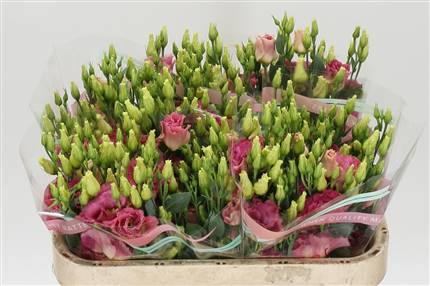 Grossiste Lisianthus G Arena Champagne  : Lisianthus G Arena Champagne  avec tarifs grossiste