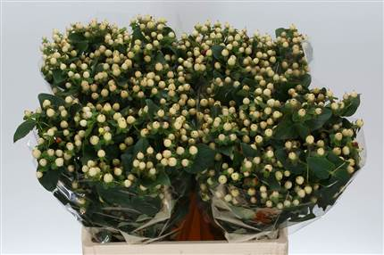 Grossiste Hypericum Magical Ivory  : Hypericum Magical Ivory  avec tarifs grossiste