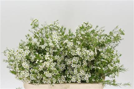 Grossiste Waxflower Un Ofir  : Waxflower Un Ofir  avec tarifs grossiste
