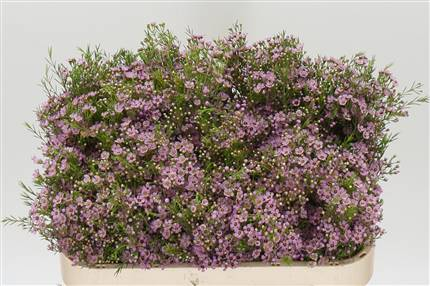 Grossiste Waxflower Un Wendy Rose  : Waxflower Un Wendy Rose  avec tarifs grossiste