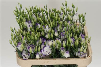 Grossiste Lisianthus G Arena Blue Picotee***  : Lisianthus G Arena Blue Picotee***  avec tarifs grossiste