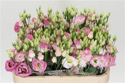 Grossiste Lisianthus G Rosi Hot Lips  : Lisianthus G Rosi Hot Lips  avec tarifs grossiste