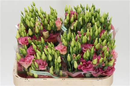 Grossiste Lisianthus G Arena Champagne***  : Lisianthus G Arena Champagne***  avec tarifs grossiste
