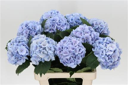 Grossiste Hortensia M Lolly Pop Bleu  : Hortensia M Lolly Pop Bleu  avec tarifs grossiste