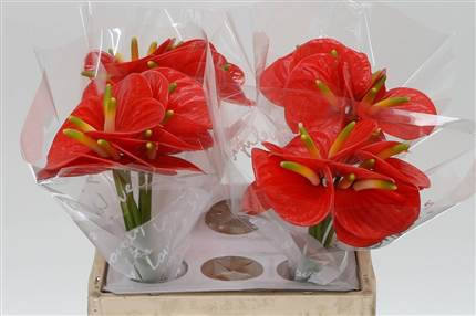 Grossiste Anthurium Aqua Orange Love Impatiens  : Anthurium Aqua Orange Love Impatiens  avec tarifs grossiste