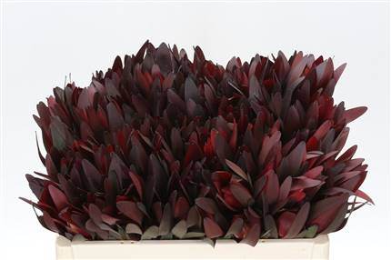 Grossiste Leucadendron Safari Sunset  : Leucadendron Safari Sunset  avec tarifs grossiste