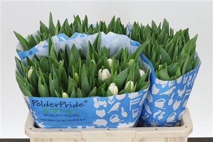 Grossiste Tulipe Simple Antarctica  : Tulipe Simple Antarctica  avec tarifs grossiste