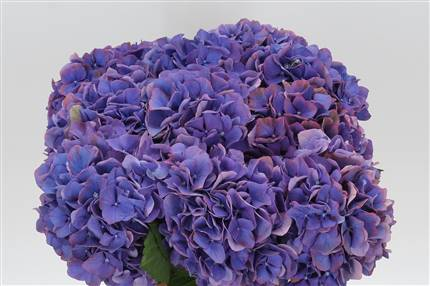 Grossiste Hortensia M Glowing Alps Mauve  : Hortensia M Glowing Alps Mauve  avec tarifs grossiste