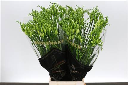 Grossiste Freesia double Versailles Extra***  : Freesia double Versailles Extra***  avec tarifs grossiste