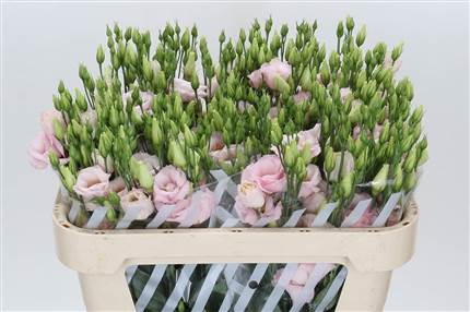 Grossiste Lisianthus G Arena Light Rose***  : Lisianthus G Arena Light Rose***  avec tarifs grossiste