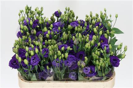 Grossiste Lisianthus G Minuet Dark Purple  : Lisianthus G Minuet Dark Purple  avec tarifs grossiste
