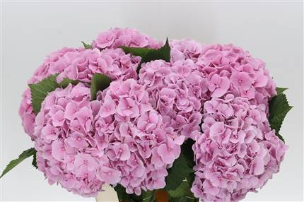 Grossiste Hortensia M Diamond  : Hortensia M Diamond  avec tarifs grossiste
