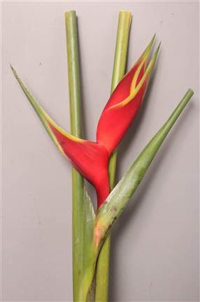 Grossiste Heliconia Richmond  : Heliconia Richmond  avec tarifs grossiste