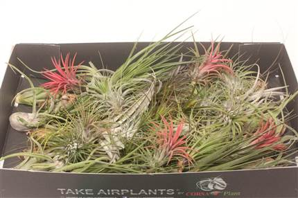 Grossiste Tillandsia Arrangement Mix 50  : Tillandsia Arrangement Mix 50  avec tarifs grossiste