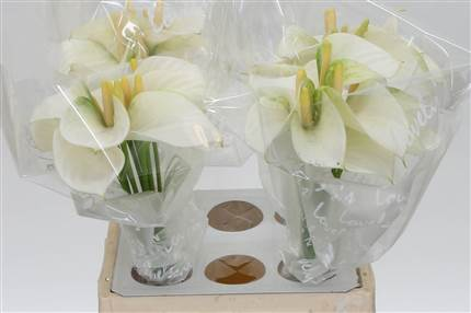Grossiste Anthurium Aqua A Blanc Love  : Anthurium Aqua A Blanc Love  avec tarifs grossiste