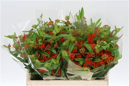 Grossiste Asclepias Tuber Rouge King***  : Asclepias Tuber Rouge King***  avec tarifs grossiste