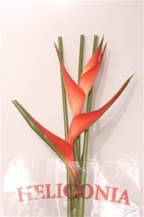 Grossiste Heliconia Tropical  : Heliconia Tropical  avec tarifs grossiste