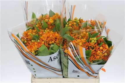Grossiste Asclepias Beatrix***  : Asclepias Beatrix***  avec tarifs grossiste