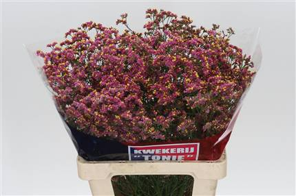 Grossiste Limonium Sin Hot Rose Dia  : Limonium Sin Hot Rose Dia  avec tarifs grossiste