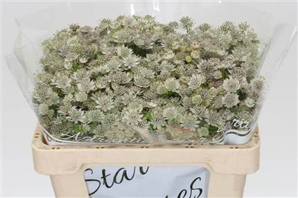 Grossiste Astrantia Million Stars Hollands  : Astrantia Million Stars Hollands  avec tarifs grossiste