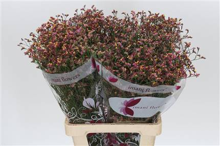 Grossiste Limonium Sin China Rouge  : Limonium Sin China Rouge  avec tarifs grossiste