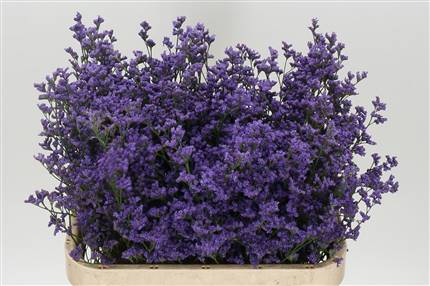 Grossiste Limonium Michigan Blue  : Limonium Michigan Blue  avec tarifs grossiste