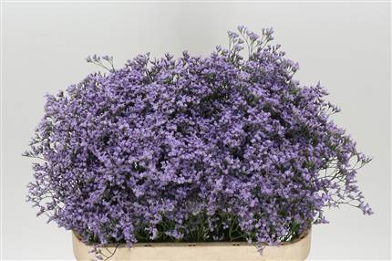 Grossiste Limonium Maine Blue  : Limonium Maine Blue  avec tarifs grossiste