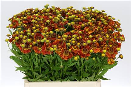 Grossiste Helenium Autumn Fire  : Helenium Autumn Fire  avec tarifs grossiste