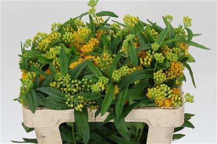 Grossiste Asclepias T Hello Jaune Hollands  : Asclepias T Hello Jaune Hollands  avec tarifs grossiste