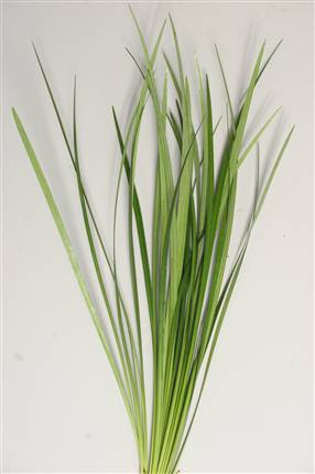 Grossiste Lilly Grass (P. Botte)  : Lilly Grass (P. Botte)  avec tarifs grossiste