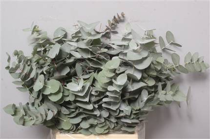 Grossiste Eucalyptus Cinerea Court 150 Gr. (P. Botte)  : Eucalyptus Cinerea Court 150 Gr. (P. Botte)  avec tarifs grossiste